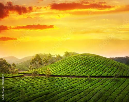 Tea plantation in Munnar Wall mural