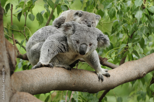 Foto op Canvas Koala Koala mom baby