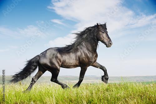 Fototapeta Beautiful black horse running trot
