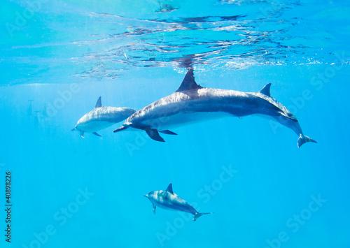 Foto op Plexiglas Dolfijnen dolphins swimming underwater
