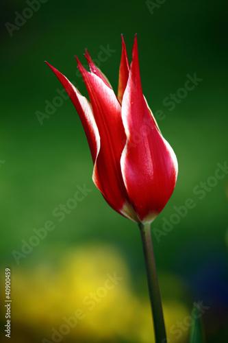 Naklejki tulipany piekny-tulipan