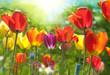 Leinwandbild Motiv Spring tulips