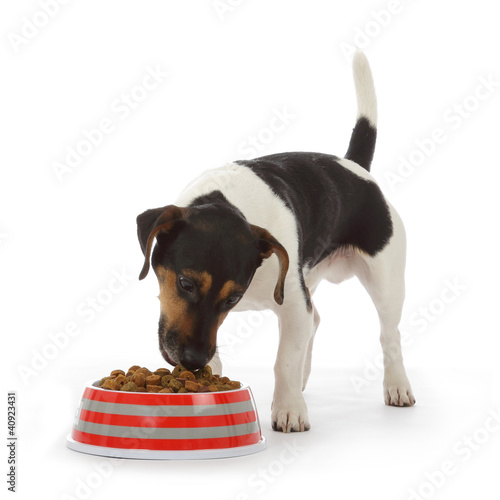 Fotografía  chien Jack Russel terrier mangeant croquettes