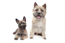 Puppy And Adult Cairn Terrier