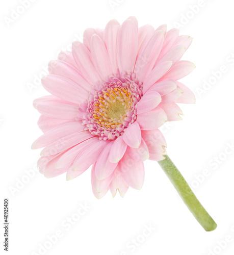Fotobehang Gerbera Pink gerbera flower