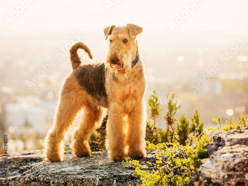 airedale terrier Canvas Print