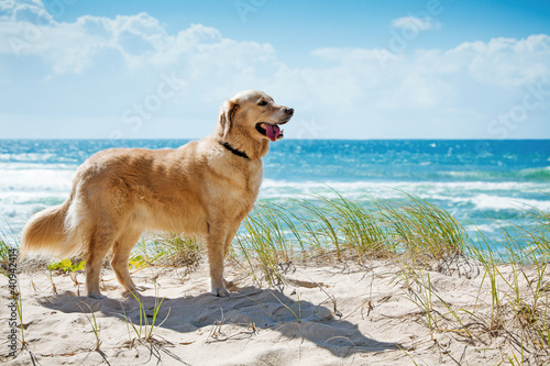 Fotografia Golden retriever on a sandy dune overlooking beach