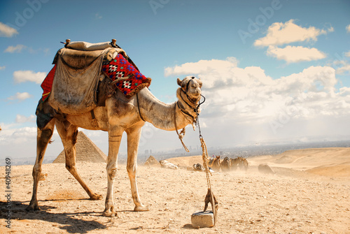 Spoed Foto op Canvas Kameel camel in the desert in Giza , Egypt