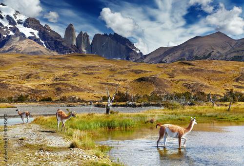 Foto auf AluDibond Lama Torres del Paine, Patagonia, Chile