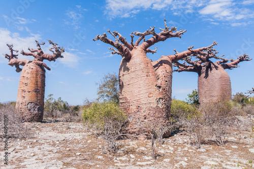 Poster Baobab Baobab forest and savanna