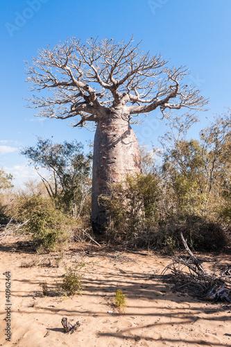 Keuken foto achterwand Baobab Baobab tree and savanna