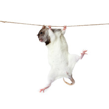 A Rat Crawling On A Rope. Rat Clutching At Rope On White Backgro