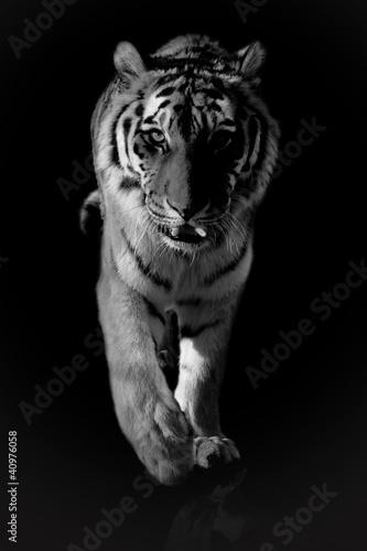 Obraz premium tygrys czarny i biały
