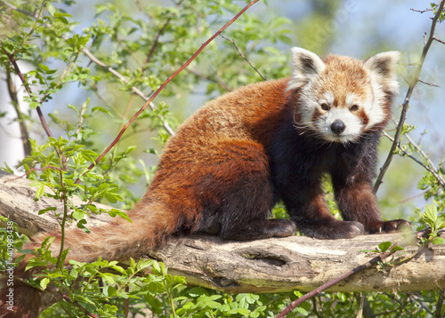 Red panda or shining cat Canvas Print