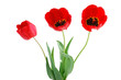 flowers, tulips, isolation