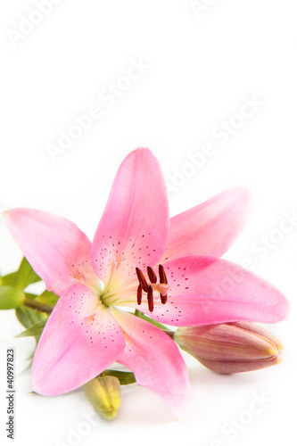 Pink Lily. © S.White