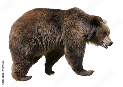 Photo  Isolated brown bear (Ursus arctos)