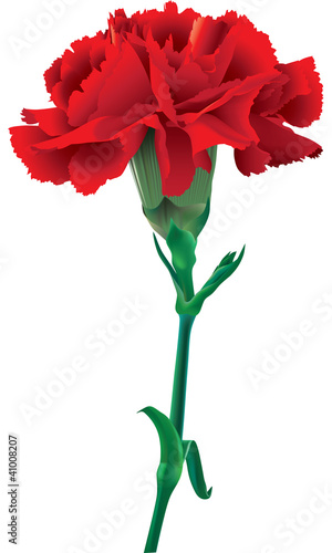 Photo  red carnations isolated