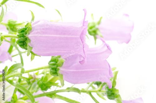 Garden Poster 横向きの紫のフウリンソウの花