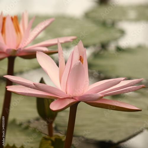 Garden Poster Lotus flower detail of pink lotus