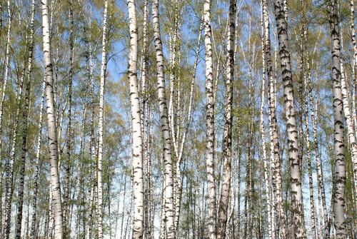 Foto op Aluminium Berkbosje Spring landscape with long blossomed birches in forest