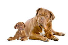 Dogue De Bordeaux Adult And Pu...