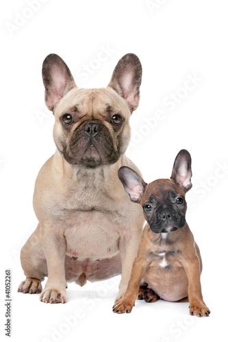 Foto op Plexiglas Franse bulldog French Bulldog adult and puppy