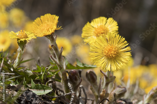 Coltsfoot flowers (Tussilago farfara) Canvas-taulu