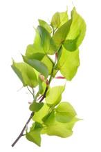 Linden Branch Shades Of Fresh Green