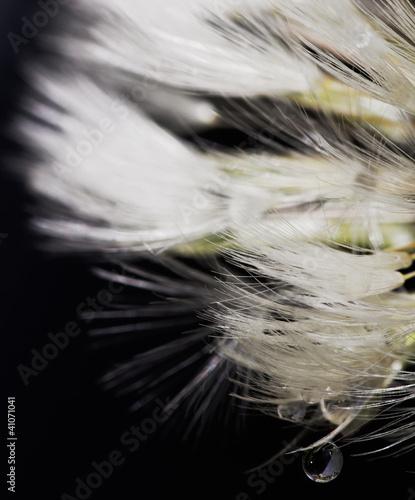 Keuken foto achterwand Paardebloemen en water dandelion macro with dew drop