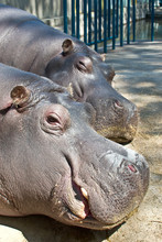 Pictures Of The Heads Of The Two Sleeping Hippos