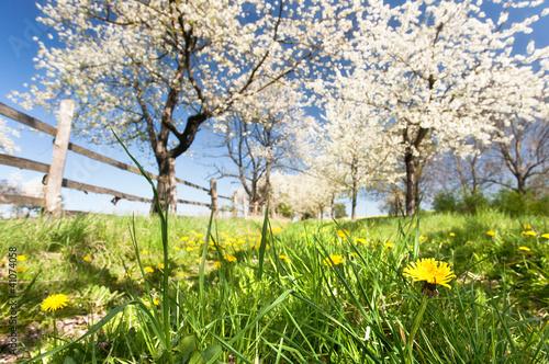Foto-Duschvorhang - Kirschplantage