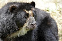 Front Portrait Of  Andean Bear...