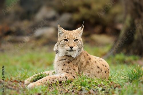 Foto auf Leinwand Luchs Young lynx