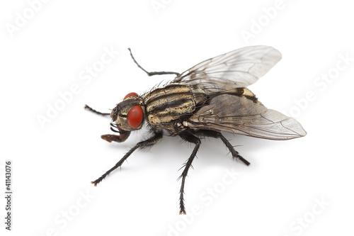 mouche domestique isolé sur fond blanc