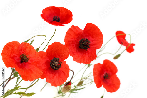 Red poppy flowers isolated on white background buy this stock red poppy flowers isolated on white background mightylinksfo