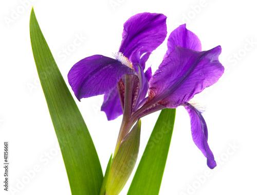 Foto op Canvas Iris Iris flower isolated