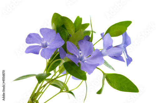 Photo periwinkle flower isolated