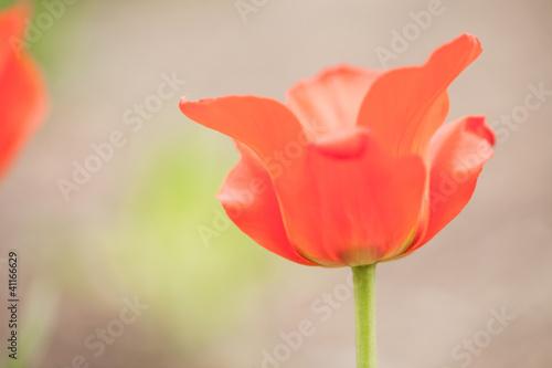 Obraz maki   czerwony-tulipan