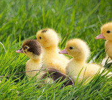 Young Duckling Sitting In Grass