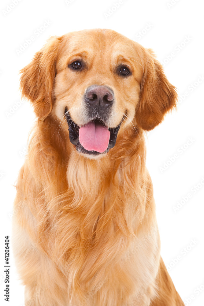Fototapeta golden retriever dog sitting on isolated  white