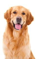 Fototapeta golden retriever dog sitting on isolated white