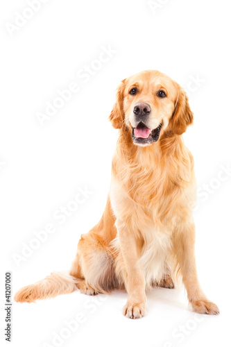 Cuadros en Lienzo golden retriever dog sitting on isolated  white