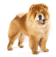 Chines Chow Chow Dog Isolated ...