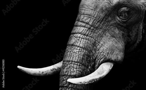 slon-afrykanski-z-bliska