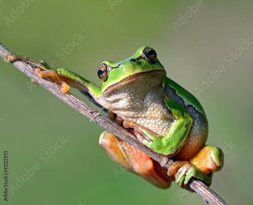 Foto op Aluminium Kikker Frog