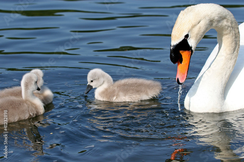 Fotografering  swan and cygnets