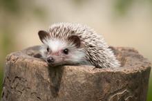 Hedgehog In The Wood