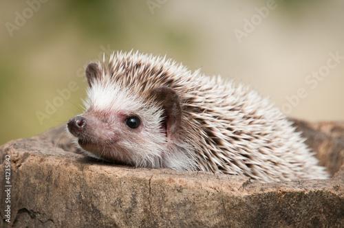 Cuadros en Lienzo hedgehog in the wood