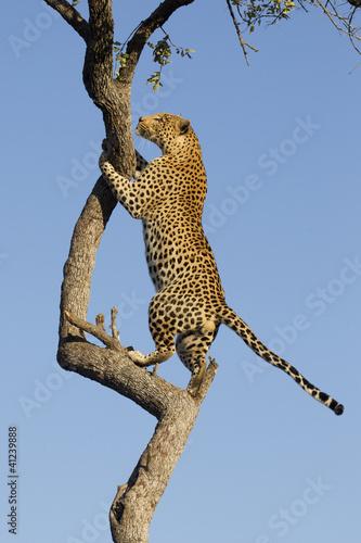 Keuken foto achterwand Luipaard African Leopard climbing, South Africa